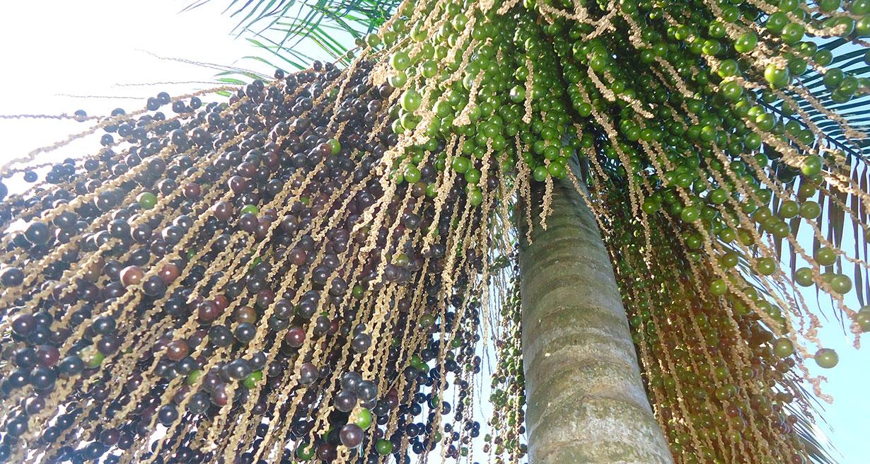 Resultado de imagem para palmeira juçara