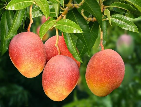 Como plantar manga - Como plantar arboles frutales ...