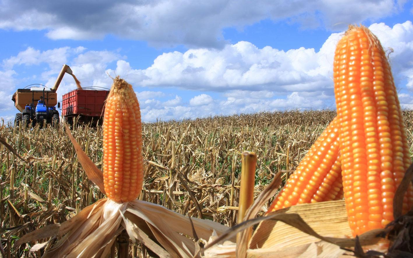 Resultado de imagem para safra de milho
