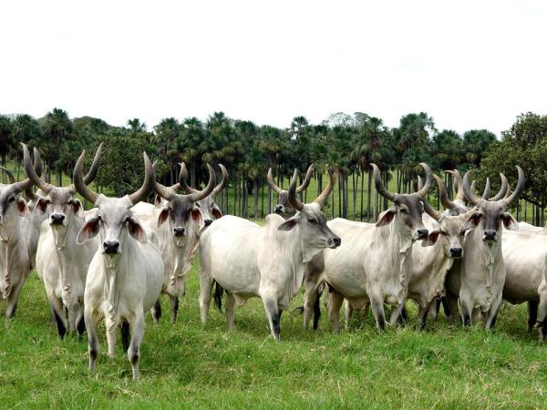 Image result for boi chifrudo