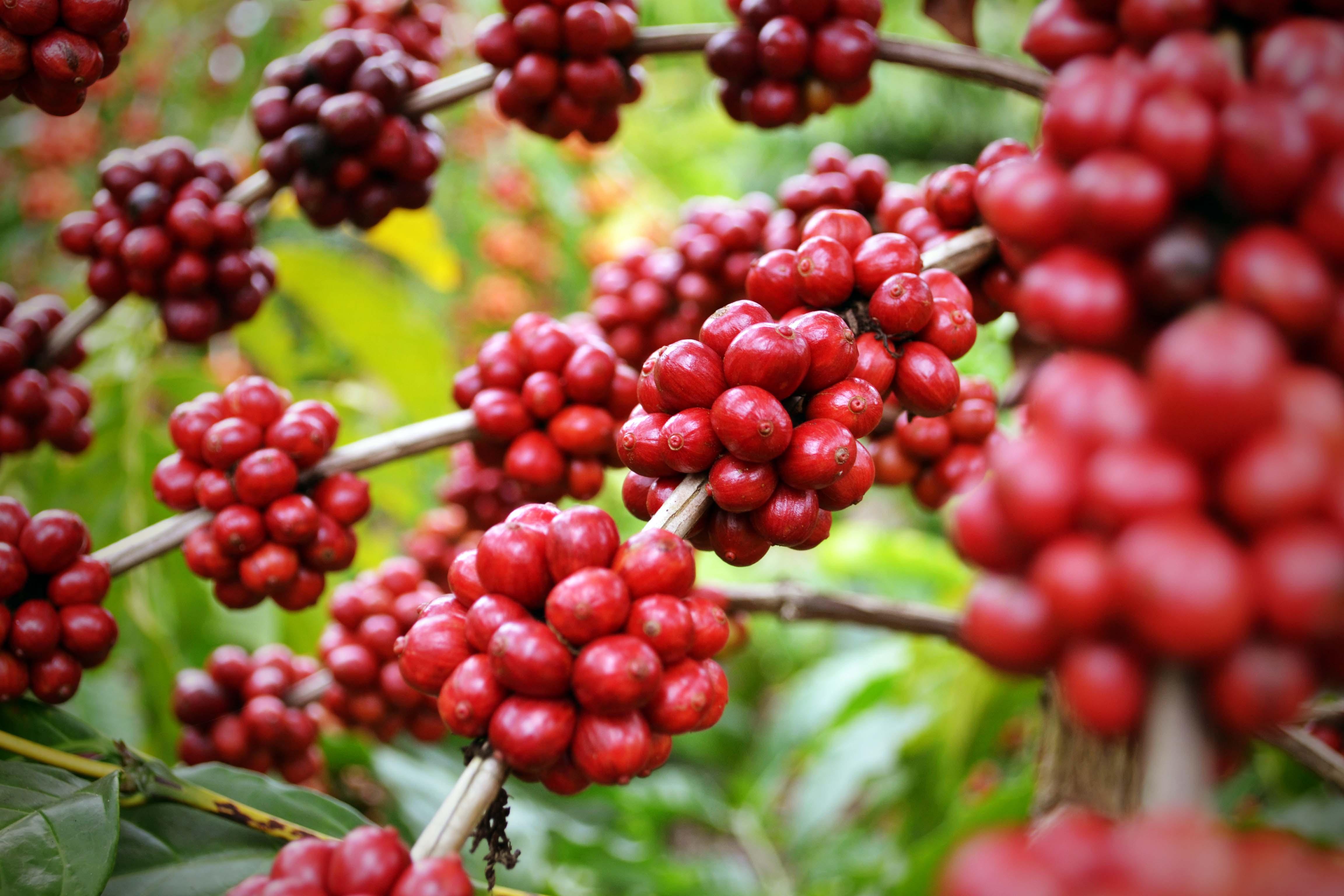 Resultado de imagem para produção de café robusta