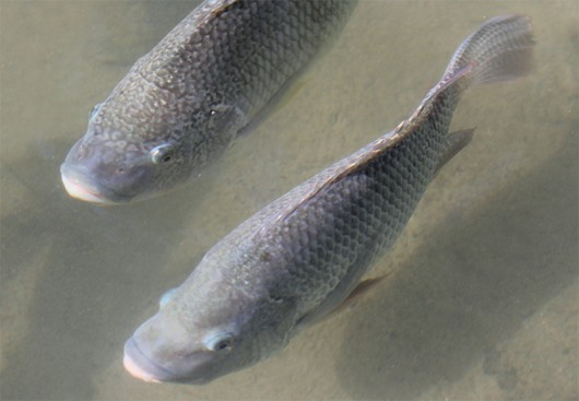 Como alimentar til pia for Elaboracion de estanques para piscicultura