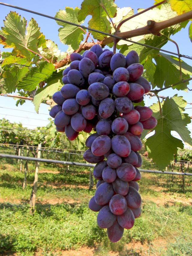 Novas cultivares de uva de mesa para o norte de minas gerais - Variedades de uva de mesa ...