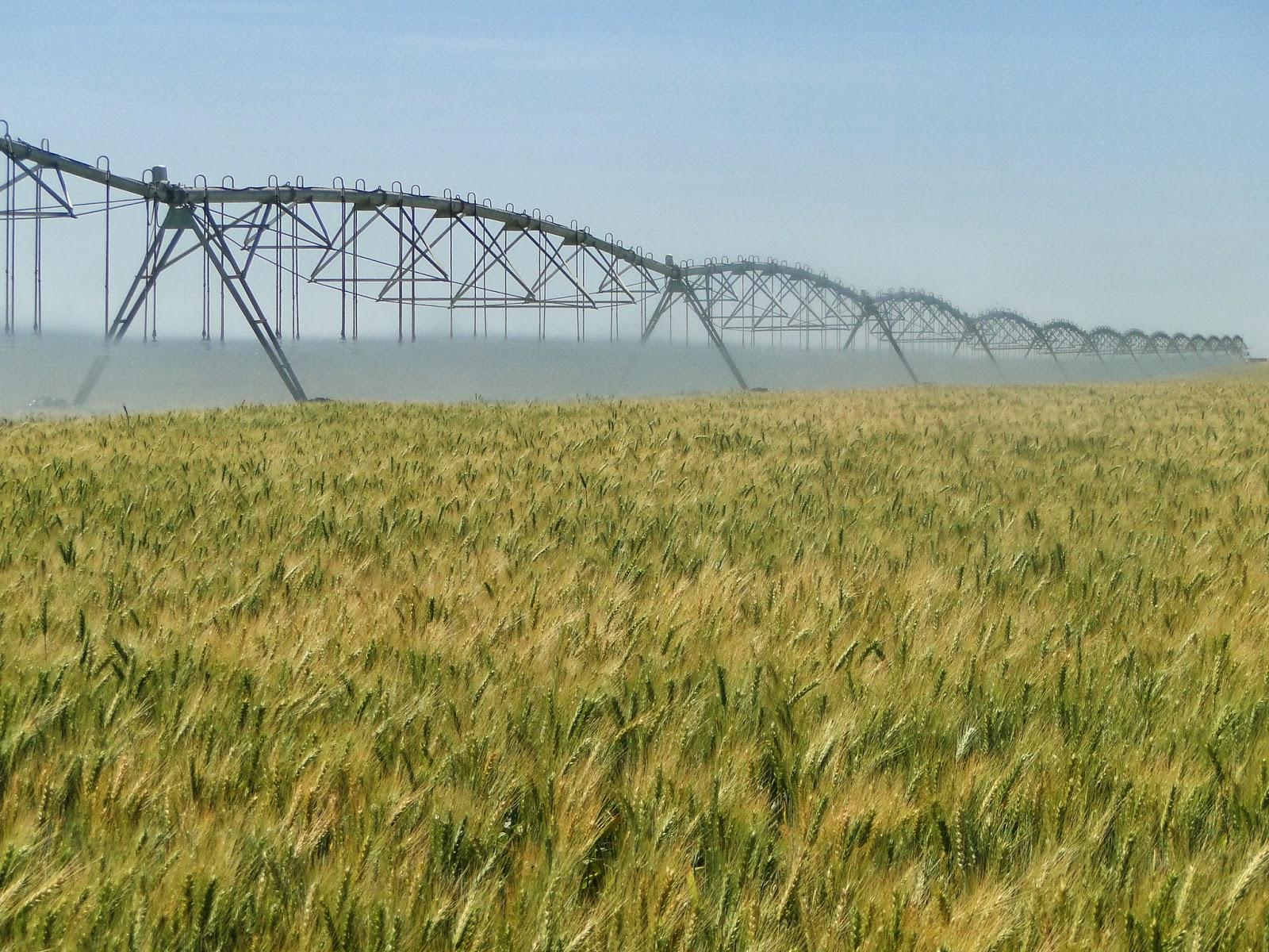 Embrapa: Novos materiais de trigo irrigado para o Cerrado